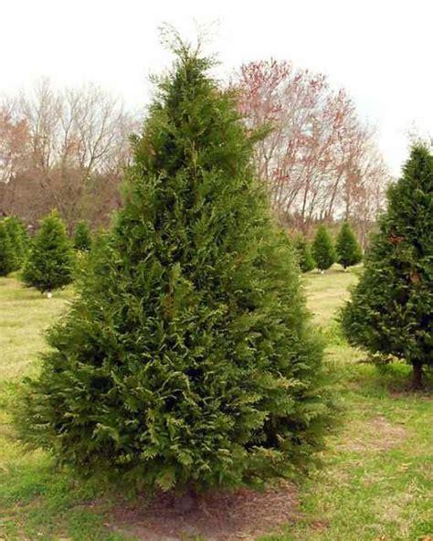 By david ridgeway president of georgia christmas tree association