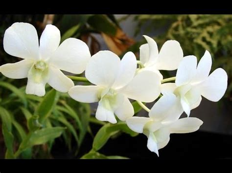 white orchid orchidaceae beautiful flowers bunga