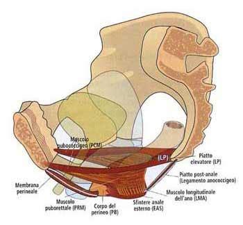 muscoli pavimento pelvico riabilimed riabilitazione pavimento pelvico