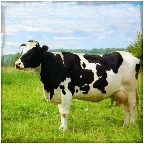 imagenes de vacas blancas imagenes de vacas lecheras en caricaturas archivos fotos