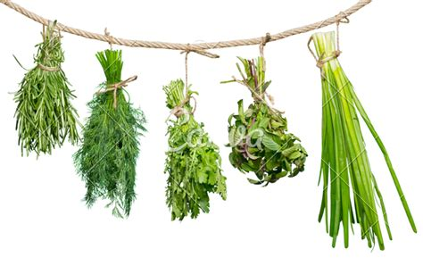hanging bunches of fresh spicy herbs isolated on white 1000 free premium thyme stock photos