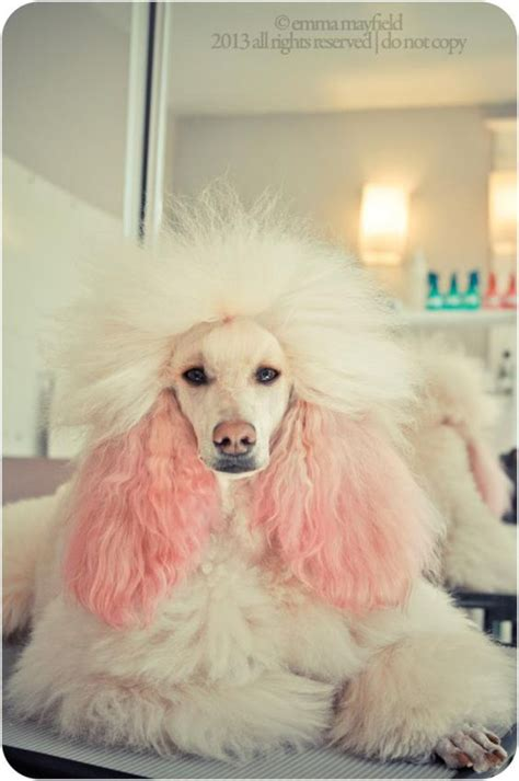poodle with plain hair cut umi standard poodle photo by emma mayfield poodle