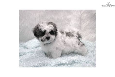 maltese shih tzu price meet benson a shih tzu puppy for sale for 425 our playful benson maltese shih