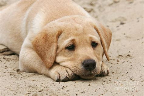 sand puppy yellow labrador retriever puppy lying in sand photograph by photos