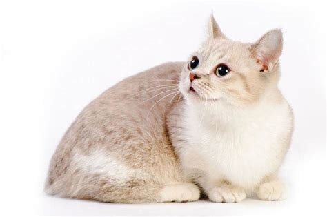 Munchkin Cat   Everything You Need to Know About the Breed