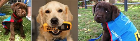 assistance dogs assistance dogs australia with trainer caitlyn beckinsale