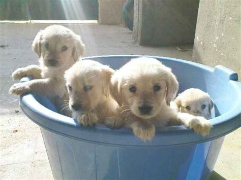 golden retrievers for sale in md akc golden retriever puppies for sale in md photo