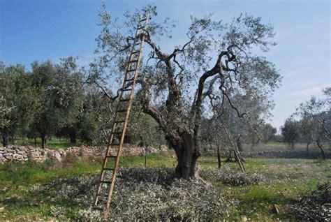potatura olivo vaso potatura dell olivo quando e come effettuarla noi