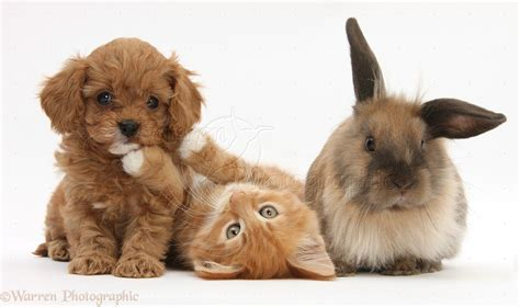 bunnies and puppies kitten butch 9 weeks with cavapoo pup and lionhead