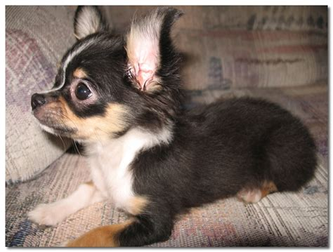 Do Chihuahuas Shed by How Much Does A Hair Chihuahua Shed