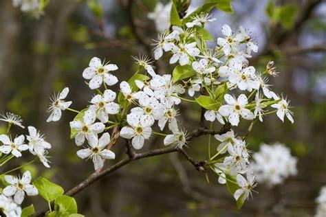 fiori pero pero alberi da frutto caratteristiche pero