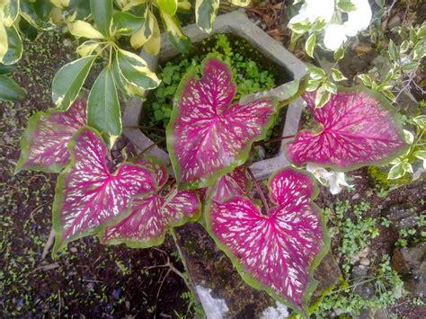 Tanaman Hias Daun Keladi Batik 15 jenis macam aneka tanaman hias gantung dan daun 2017