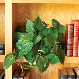 indoor vine plants philodendron