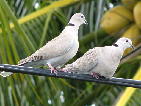 eurasian collared doves conquering america project