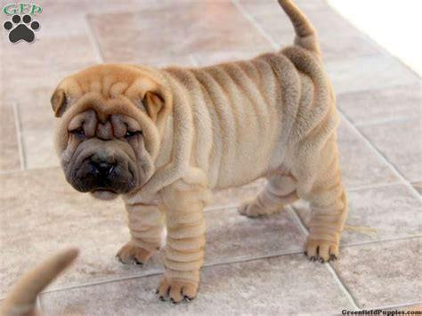 shar pei puppies for sale in pa shar pei for sale in pa breeds picture