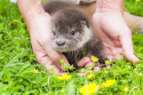 orphaned otter cub rescued  scottish animal charity