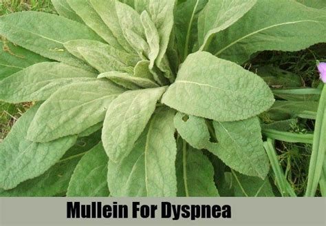 images  plant remedies  asthma