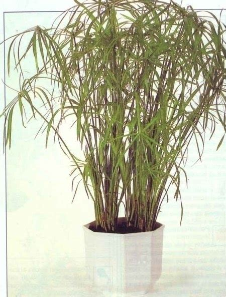 malattie piante appartamento malattie papiro piante appartamento malattie