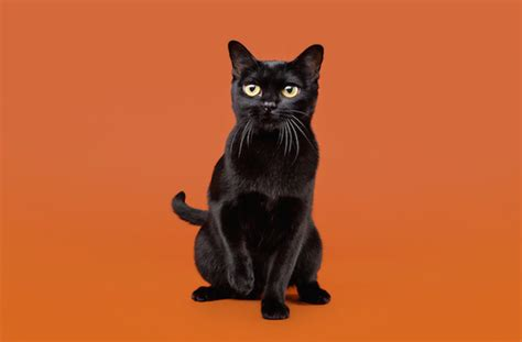 black breeds 8 black cat breeds pawculture