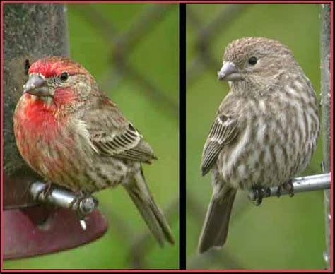 house finch sounds terrierman s daily dose sparrows with wine colored heads