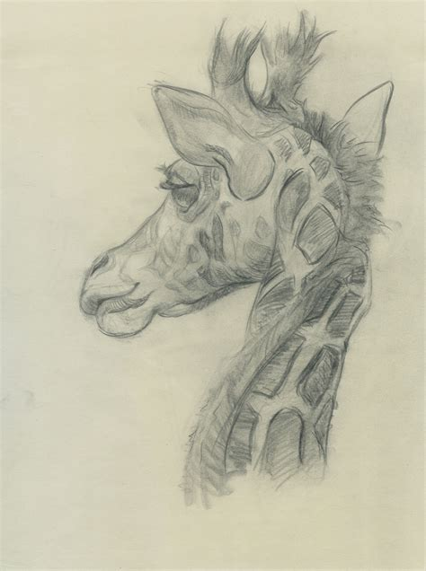 Drawings Of Animals branscom animal drawings