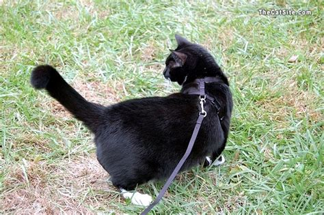 how to a to be leash harness and leash for cats thecatsite