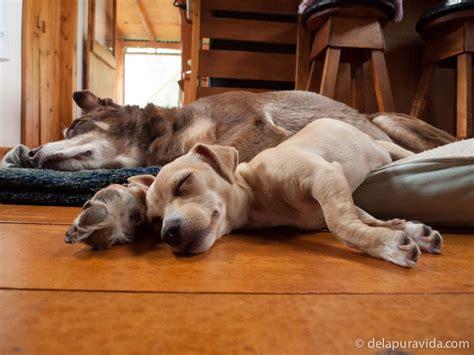 puppy sleep schedule a new puppy how are we getting along de la pura vida