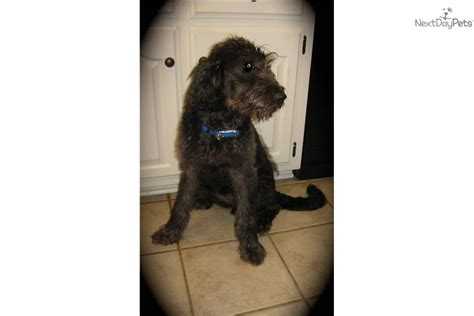 house broken dogs for sale roofie house broken labradoodle puppy for sale near little rock arkansas