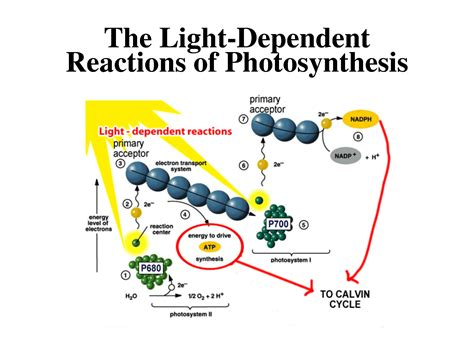 Light Reactions Of Photosynthesis by Photosynthesis