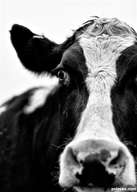 Cowhide Definition - the 25 best cow photos ideas on cow