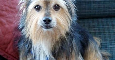 yorkie corgi yorkie corgi mixes www imgkid the image kid has it