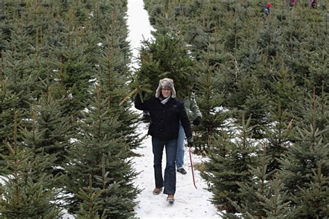 christmas tree farms in albany ny area trees for sale in the albany capital district area
