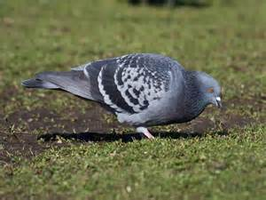 Backyard Pigeons by In The Backyard Rock Pigeon Pacific Nw Birder