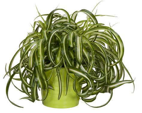 spider plant low light urban gardens how to save water with low maintenance