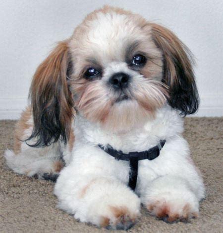 gambar  foto anjing lucu menggemaskan