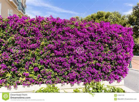 Bougenville Violet beautiful violet bougainvillea stock photo image 57921132