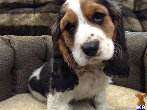 basset hound puppies az beautiful basselier puppies 31590