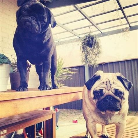 walrus pug 104 curated animals ideas by mbmyers53 baby walrus boston terriers and pug