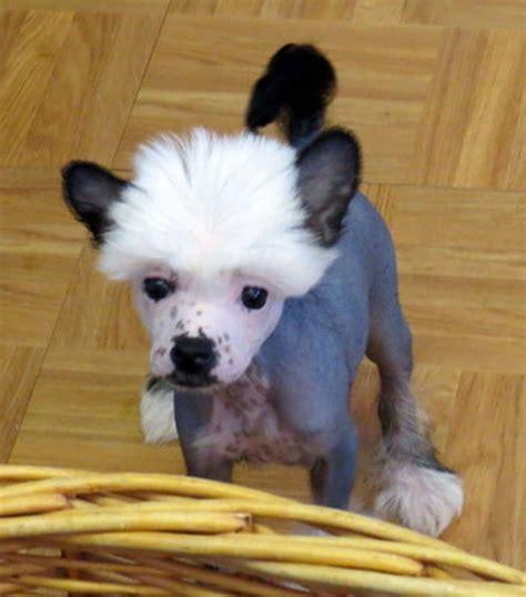 crested puppies for sale crested puppies for sale