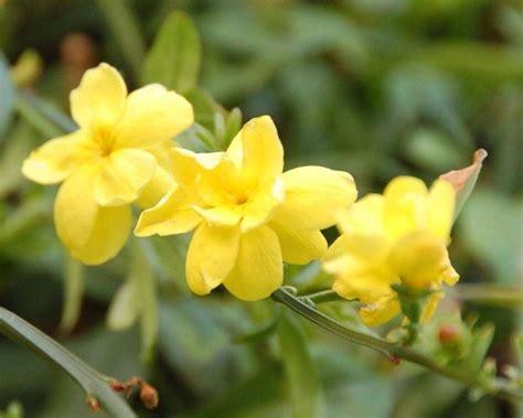 fiore di ginestra fiori ginestra fiori delle piante