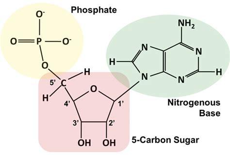 diagram of nucleotide image gallery nucleotide