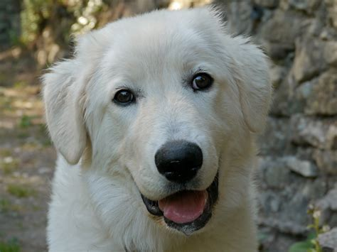 maremma puppy maremma sheepdog photo and wallpaper beautiful maremma sheepdog