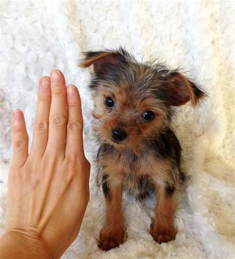 teacup yorkie for sale los angeles iheartteacups teacup yorkie puppy for sale los angeles california quot lala pics