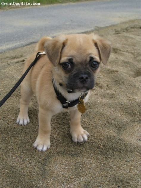 pugs and chihuahuas 20 best ideas about pug chihuahua mix on pug mix chug and pug mixed