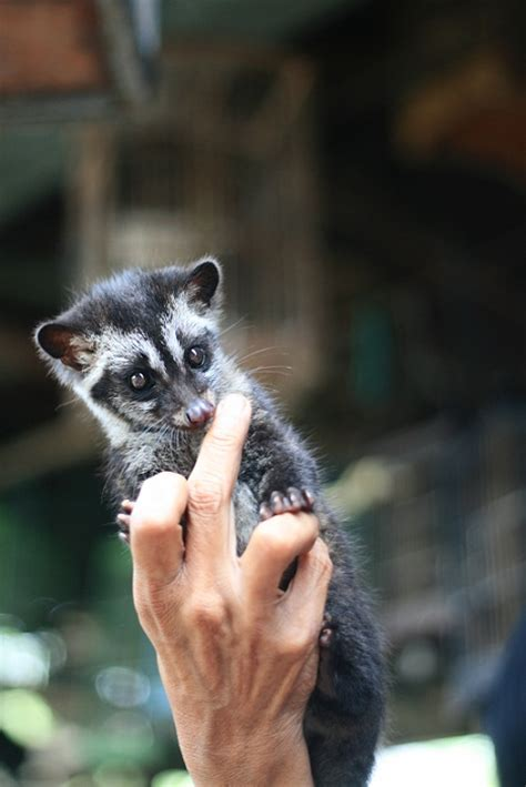 Jual Musang Pandan Jantan Kaskus jual musang baby imut kaskus archive