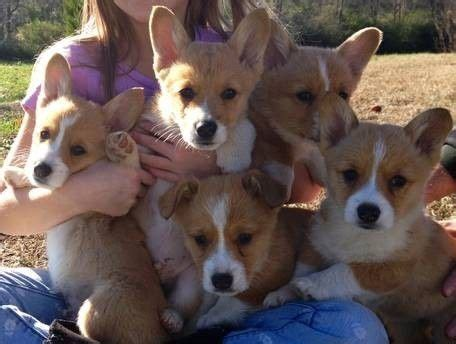 corgi puppies for sale in ct pembroke corgi puppies for sale glastonbury ct 207468 petzlover
