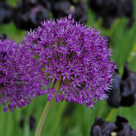 allium purple sensation flowerbulbs for perennializing and low cost maintainance flower bulbs