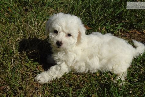 puppies for sale in charlottesville va ramsey bichon frise puppy for sale near charlottesville virginia 856ff0c2 3c61