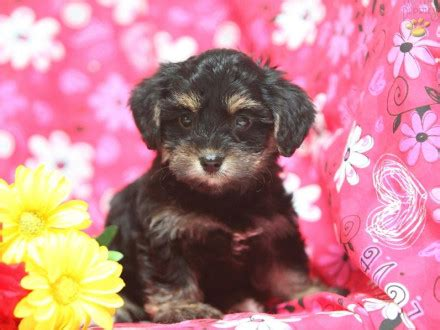 yorkie poos for sale in pa teacup puppies for sale colorado breeds picture