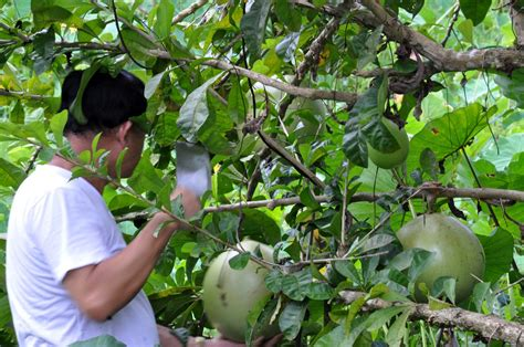 A Tree Miracle Free Miracle Fruit Tree Www Imgkid The Image Kid Has It